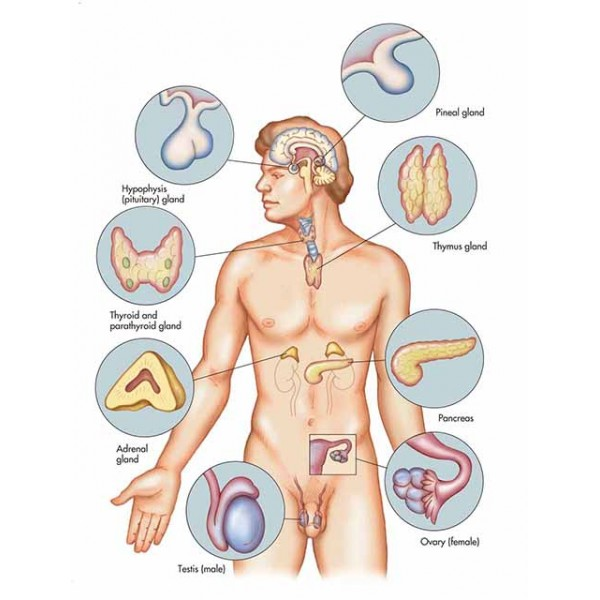 Effect of the magnetic field on the endocrine system